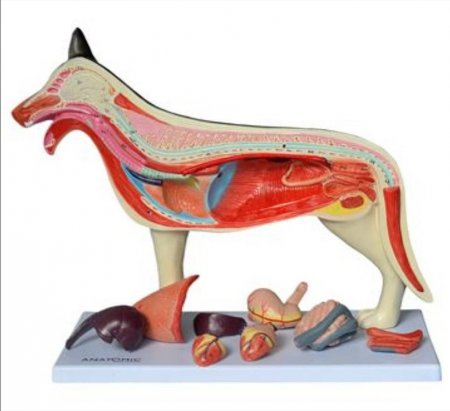 ANATOMIA DO CACHORRO